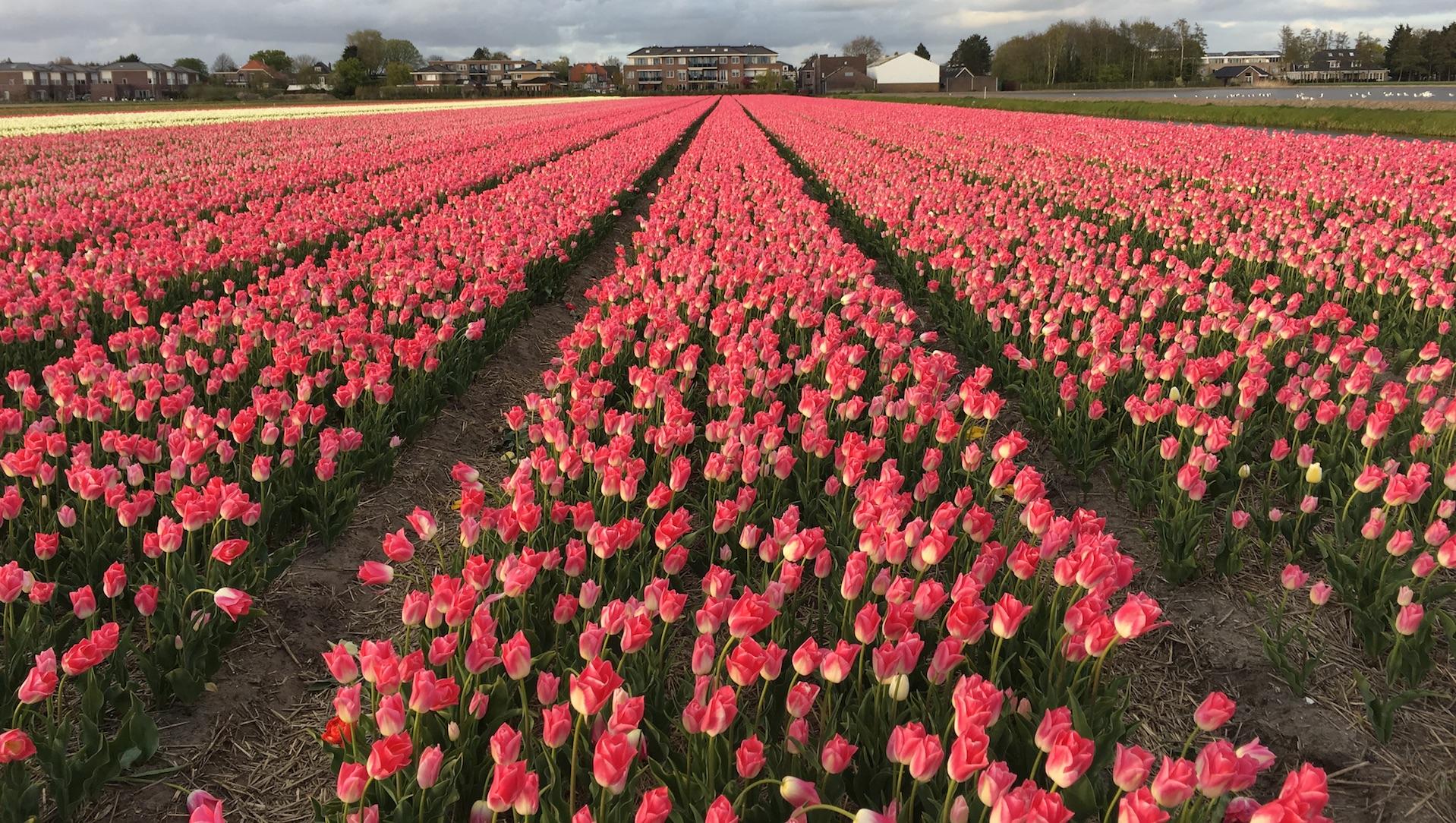Camp de Tulipes